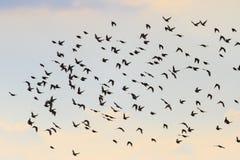 Silhouettes des oiseaux volant dans le ciel Image stock