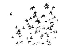 Silhouettes des pigeons Photo stock