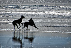 Silhouettes of Dogs on a Beach. Two black dogs playing on a beach in Del Mar, southern California near San Diego, are silhouetted against the surf of the Pacific Stock Photos