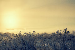 Silhouettes of dry grass at sunrise in the mist  a frosty Royalty Free Stock Image