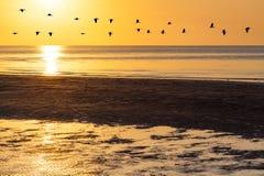 Silhouettes du troupeau des oies volant à travers le ciel orange au coucher du soleil Images stock