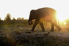 Silhouettes Elephant at the sunset Royalty Free Stock Images