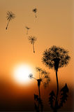 Silhouettes of fading dandelions at sunset Stock Images