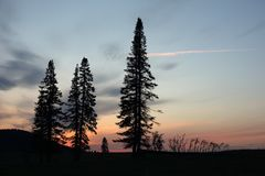 Silhouettes of firs against the sky in the evening royalty free stock photo