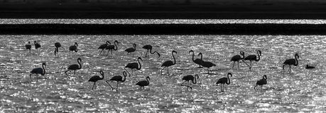 Silhouettes of flamingo in a desert pond Royalty Free Stock Photography
