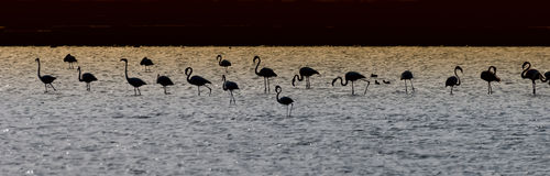 Silhouettes of flamingo in a desert pond Royalty Free Stock Photo