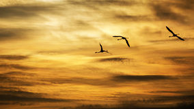 Silhouettes of Flamingos flying in the sunset Royalty Free Stock Images