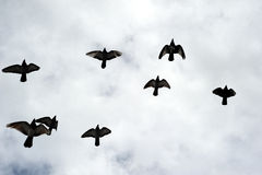 Silhouettes of a flock of birds. Stock Images