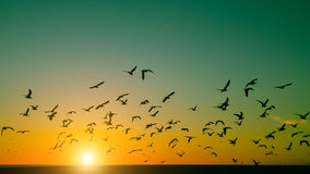 Silhouettes flock of birds over the Atlantic ocean during sunset. Seagulls Stock Images