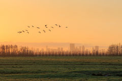 Silhouettes of a flock of gees flying at sunrise in front of the skyline of Rotterdam. The photo is taken from the Ackerdijkse Plassen, a nature reservation Royalty Free Stock Images