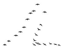 Silhouettes flock geese Royalty Free Stock Image