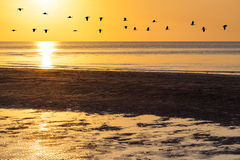 Silhouettes of flock of geese flying across orange sky at sunset Stock Images