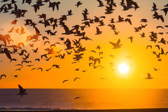Silhouettes flock of seagulls over the Ocean during sunset. Nature Stock Photo