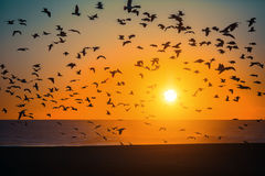 Silhouettes flock of Seagulls over the Sea Royalty Free Stock Images