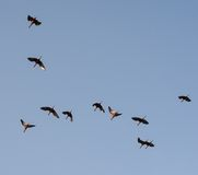 Silhouettes of a flock of storks in the blue sky Royalty Free Stock Photo