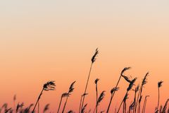 Fluffy reed flowers by sunset Royalty Free Stock Photos
