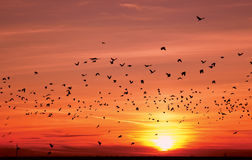 Silhouettes of flying birds over sunset Royalty Free Stock Photo