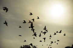 Silhouettes of flying pigeons in the skies Royalty Free Stock Images