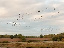 Silhouettes of geese flying above country scene in a line swarm Royalty Free Stock Photo