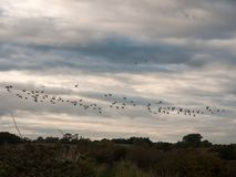 Silhouettes of geese flying above country scene in a line swarm Stock Images