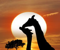 Silhouettes Of Giraffes Royalty Free Stock Photos