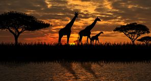Giraffes on the river bank royalty free stock photo