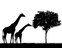 Silhouettes of giraffes and tree on white background vector.  Royalty Free Stock Image