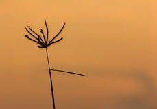 Silhouettes of grass flower Stock Photography