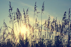 Silhouettes of grass Royalty Free Stock Image