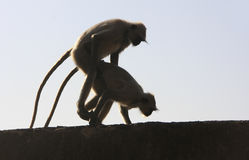 Silhouettes of gray langurs mating, Taragarh fort, Bundi, India Stock Photo