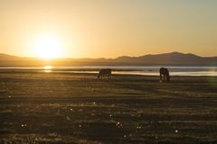 Silhouettes of grazing animals at sunset in beautifull scenery. Silhouettes of grazing animals cows and horses at sunset in beautiful scenery, near lake in Royalty Free Stock Photo