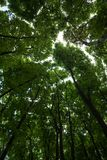 Silhouettes of green maple treetops Stock Photo