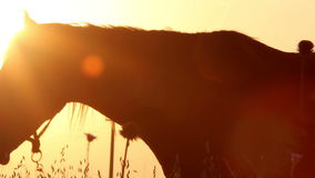 Silhouettes of horses at sunset Stock Images