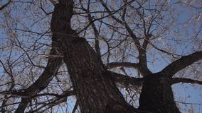 Silhouettes of leafless tree with buds on a dark blue sky background. Footage. Trees without leaves stock footage.  stock video