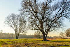 Silhouettes of leafless trees in afternoon sunlight. Silhouettes of some tall bare trees in the late afternoon of a sunny day in the Dutch winter season Stock Photos
