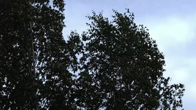Silhouettes of leaves against the sky. Silhouette a tree against a background of sky stock footage