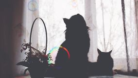 Silhouettes of Maine Coon cats and soap bubbles on the background basket with flowers. 1920x1080 stock video