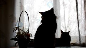 Silhouettes of Maine Coon cats and soap bubbles on the background basket with flowers. 1920x1080. hd stock video