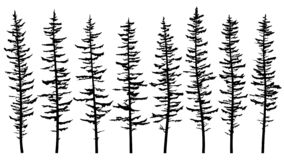 Free Silhouettes Of Tall Spruce Tree With Broken And Sparse Branches. Stock Images - 177091104