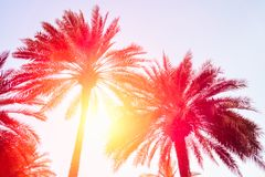 Silhouettes of palm trees against the sky during a tropical sunset.  stock photography