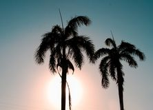 Silhouettes of palm stock photo