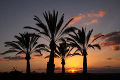 Silhouettes of palm trees at sunset background Royalty Free Stock Image