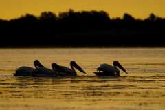 Silhouettes of Pelicans at Sunrise Royalty Free Stock Images