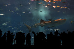 Silhouettes of people to see giant whale shark Royalty Free Stock Photos