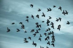Silhouettes of pigeons royalty free stock photography