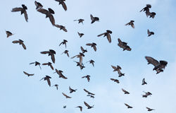Silhouettes of pigeons Stock Photography