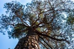 Silhouettes of pine tree Stock Photo