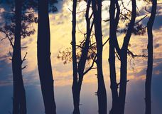 silhouettes of pine trees Stock Photos