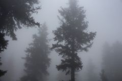 Silhouettes of pines trees in fog. Royalty Free Stock Photo