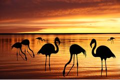 Silhouettes of  pink flamingo Stock Image
